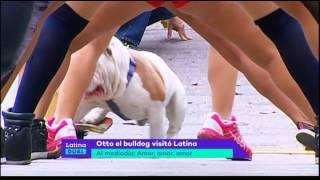 Otto, el famoso bulldog peruano skater, visitó Latina