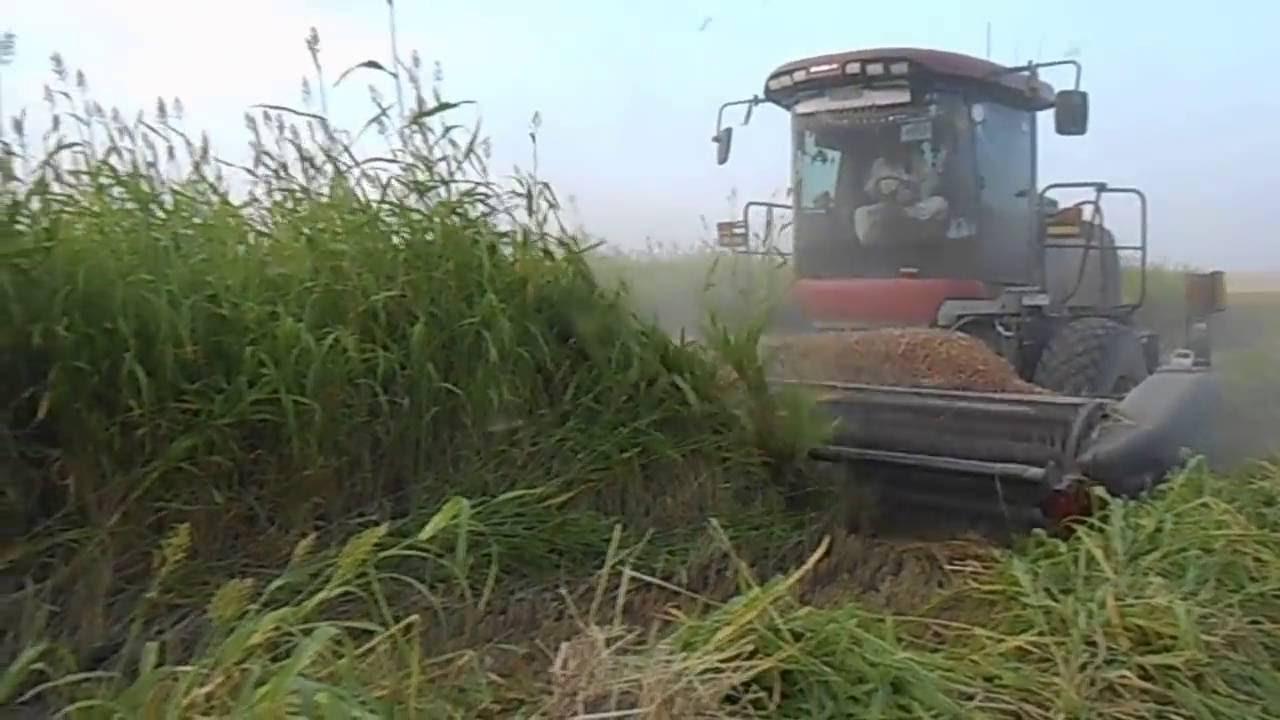 الذرة الجيزانية الحمراء Corn Harvest Algizanah Red Youtube