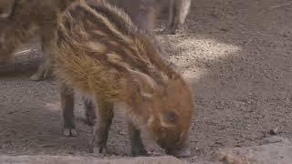 Red River Hog Piglet Debut