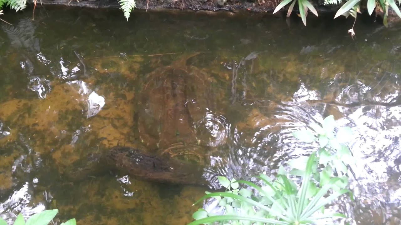 Snapping Turtle at Sunken Gardens St Petersburg FL - YouTube