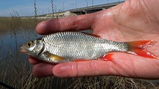 Рыбалка ловля наживки для постановки донок на сома