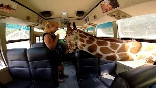 Hungry Giraffes Scare Tourist By Poking Their Heads Inside Tour Bus For a Snack