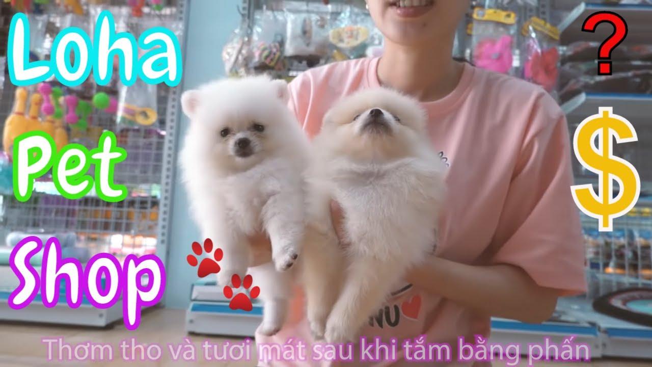 Chó phốc sóc mini tại shop thú cưng Long An LoHa Pet Shop – Pomeranian mini For Sale