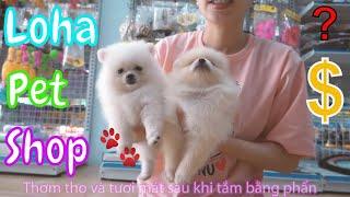 Chó phốc sóc mini tại shop thú cưng Long An LoHa Pet Shop - Pomeranian mini For Sale