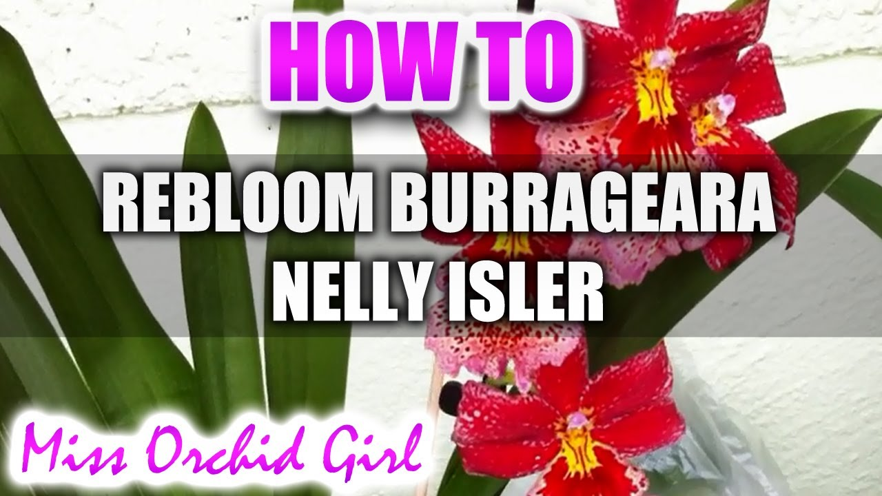 how to rebloom burrageara nelly isler orchid youtube. Black Bedroom Furniture Sets. Home Design Ideas