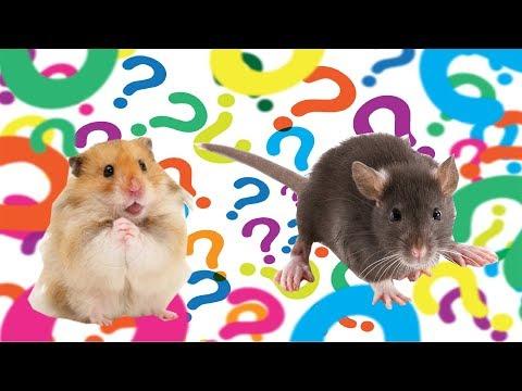 Кого лучше завести? Хомяка или крысу?