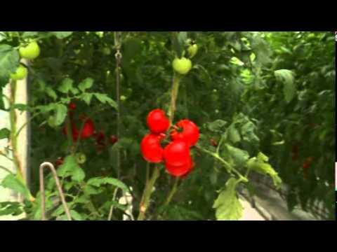 "ролик томаты ""Гавриш"" 320Х240"