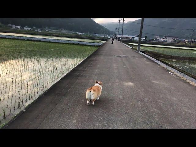 遅れてきた私に気づき、ダッシュで迎えにきてくれたコーギー陽菜ちゃん(Hina-chan)