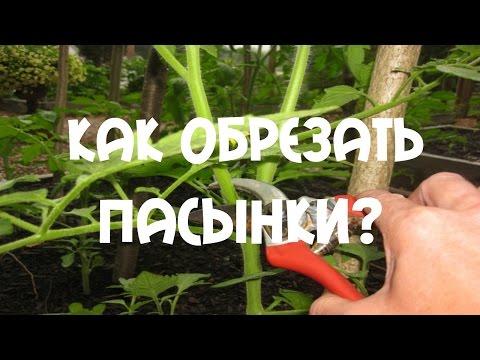 Как обрезать пасынки на помидорах?
