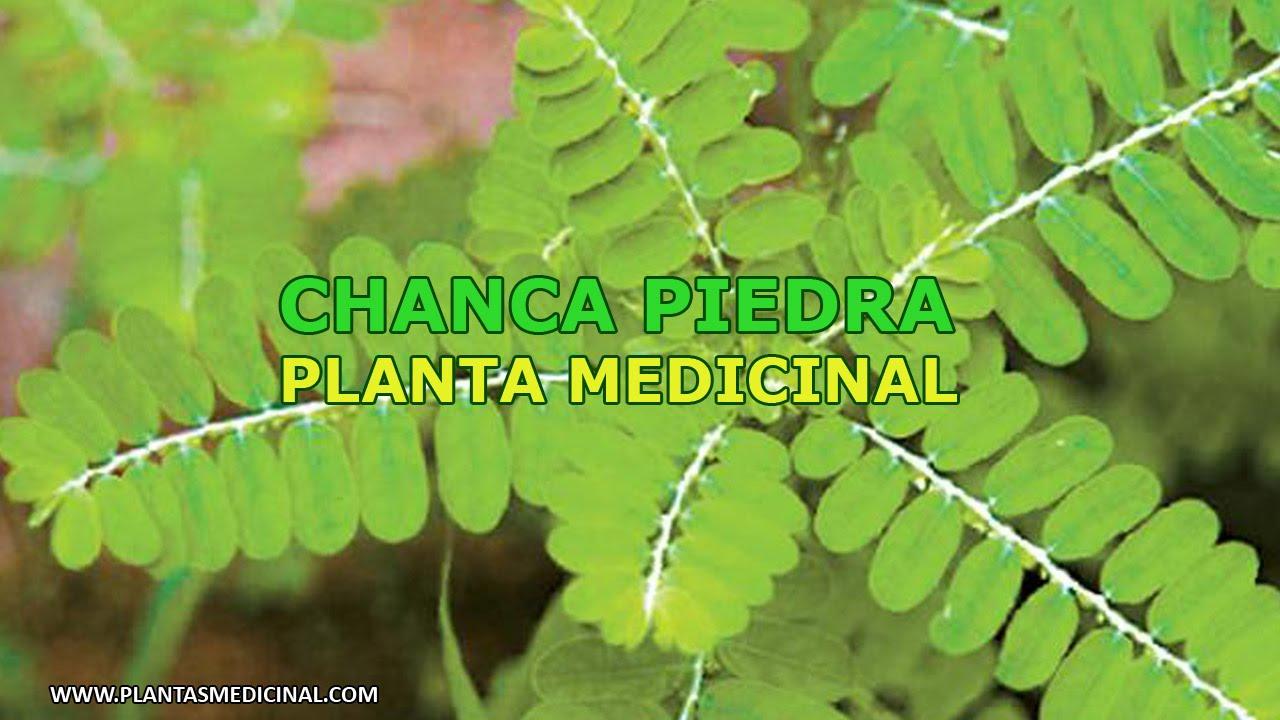 La chanca piedra propiedades y beneficios youtube for Planta decorativa con propiedades medicinales