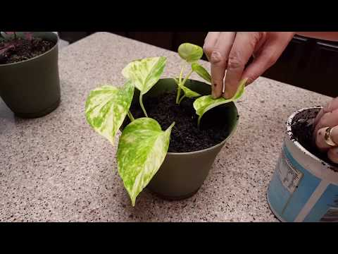 Potting my Marble Queen Pothos Ivy Cuttings