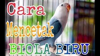Video Cara mencetak lovebird BIOLA BIRU yang harga terkini 25jutaan hanya dengan modal JOSAN darah NINGRAT download MP3, 3GP, MP4, WEBM, AVI, FLV Juli 2018