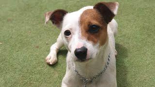 Jack Russell Köpek Eğitimi | Pozitif Köpek Eğitimi