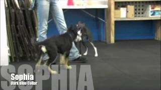 9 Week Old German Shepherd Puppies Visit Sirius Puppy Training