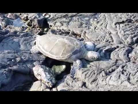 Green Sea Turtle (Honu) Basking In Sun - Kaloko-Honokohau Park, Big Island, Hawaii