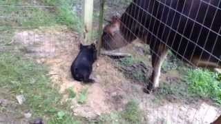 American Guinea Hogs (AGH): Polly Meeting Star (our Jersey calf)