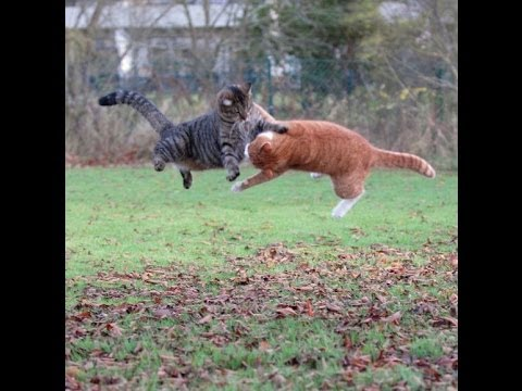 Funny Cats Fight - The tension builds up and The epic ...