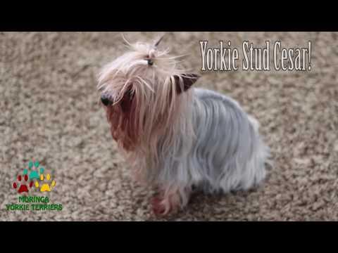 Yorkie Stud Cesar Produces Beautiful Teacup Puppies