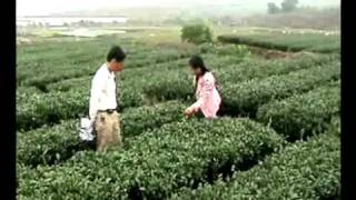 Inspecting Tie Guan Yin Tea Plantation (Fujian province, China)