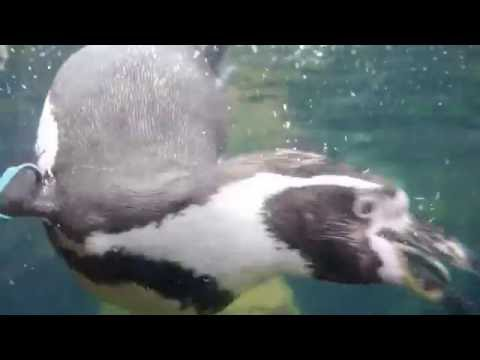 Penguins and Live Trout Feeding