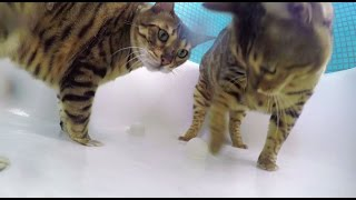 Bengal Cats in the Shower shot on GoPro