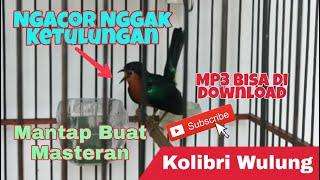 Kolibri Wulung Gacor Mantap