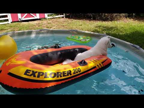 husky-puppy-refuses-to-get-out-of-boat!