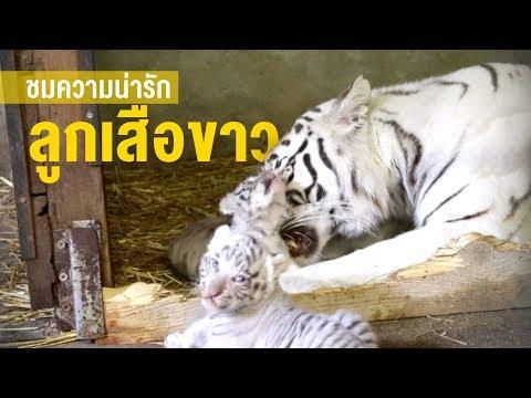 สวนสัตว์ออสเตรียเผยโฉม ลูกเสือขาว 3 ตัว - Workpoint News