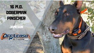 DOBERMAN PINSCHER / DOG TRAINING