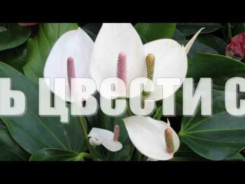 ЖЕНСКОЕ СЧАСТЬЕ не цветет. Как заставить цвести СПАТИФИЛЛУМ.