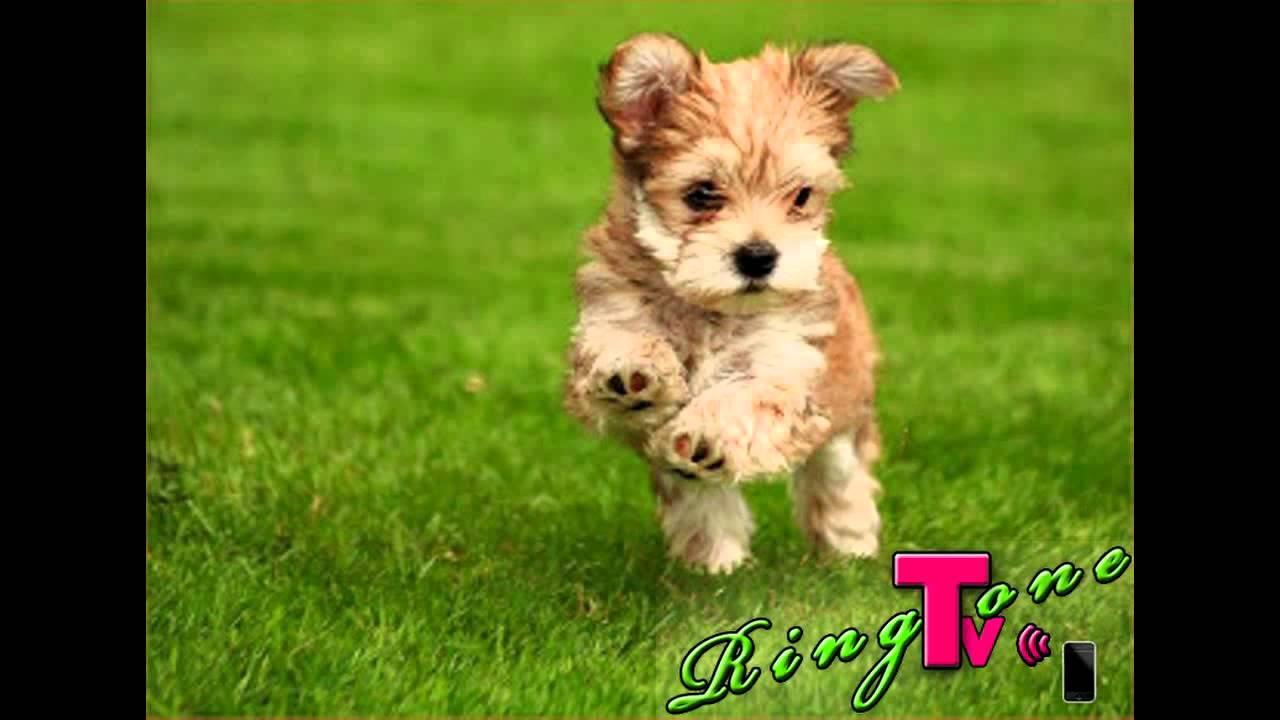 Puppy ringtone