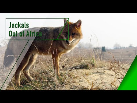Jackals Out of Africa - The Secrets of Nature