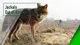Jackals Out of Africa The Secrets of Nature