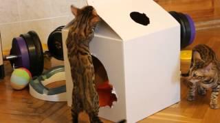 Бенгальский кот - прикол. Смешные игры бенгальских котят.http://www.bengalocats.com/