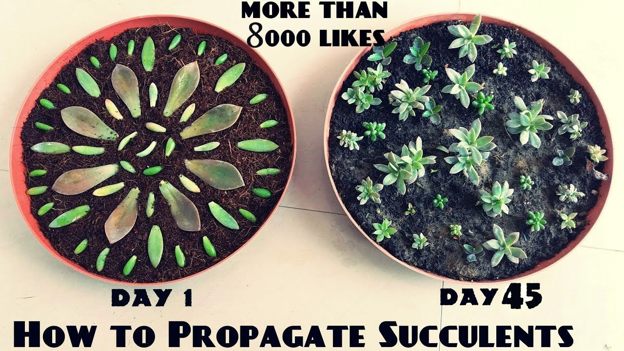 How To Propagate Succulents Fast N Easy