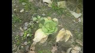 Озимая белокочанная капуста или чудо ГМО? Правильное питание по методу Скачко (Киев): 383-19-20