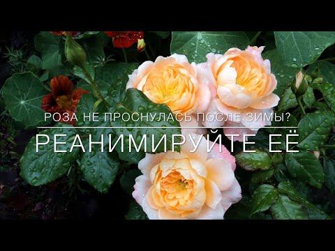 Вопрос: Что делать если розы в погребе тронулись в рост зимой?