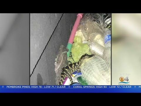 Michael J. - Woman in a traffic stop, pulls a ONE FOOT ALLIGATOR out of her yoga pants!