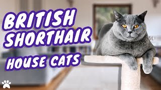 Tips On Keeping Your British Shorthair Cat Active