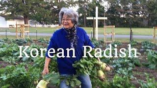 HD How to Harvest Korean Radish (Mu)