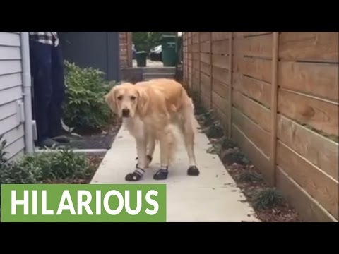 Golden Retriever humorously breaks in new shoes
