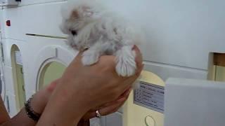 Tiny Micro Teacup Sized Maltese Baby Girl