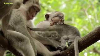 Mom beats baby Milto cos of request for milk, Milta rejects baby to Milk, monkey weaning small baby