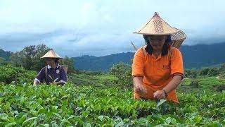 Sabah Tea Garden | Ranau, Sabah