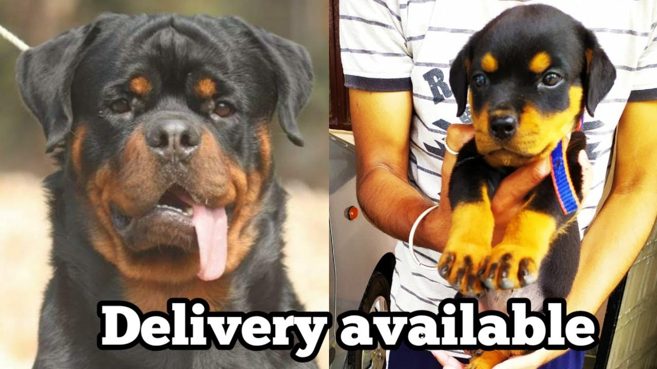 Super quality Rottweiler puppy for sale in low price| Rottweiler puppies for sale| Doggies tube