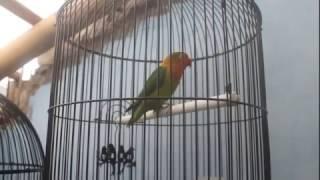 Ega Noviantika~Cara mudah mancing lovebird ngekek pakai suara lomba. MANJUR !