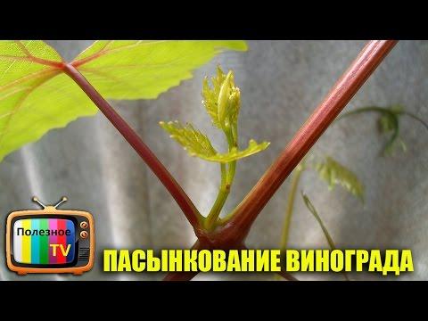 Как пасынковать виноград весной видео
