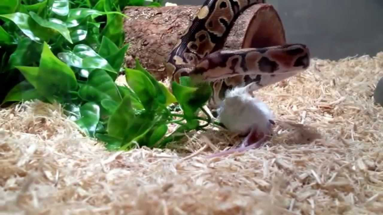 phytoon snake vs mouse and kill and huntters best animals wild 2015 youtube. Black Bedroom Furniture Sets. Home Design Ideas