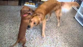 Puppy Wrestling:  Dachshund & Golden Retriever