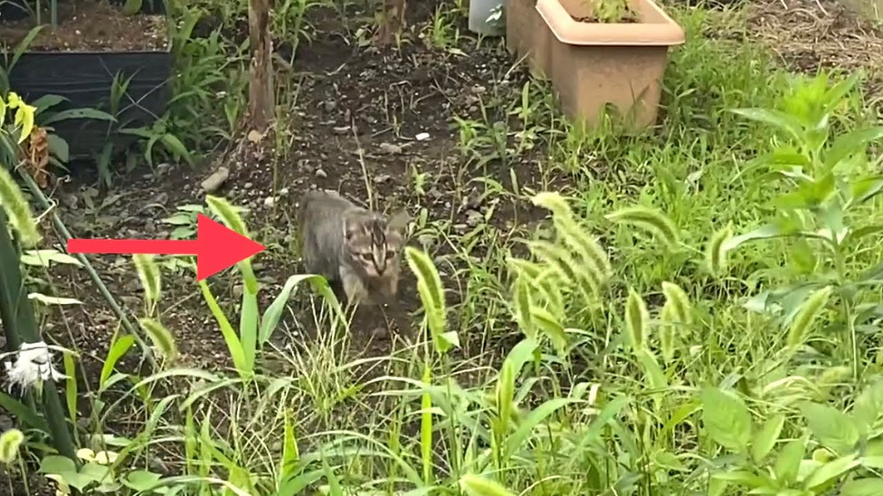 茂みに入ったり出たりして遊ぶ楽しそうな子猫【キジトラ猫・野良猫】